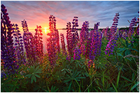 Lupines by Stephen DesRoches ©
