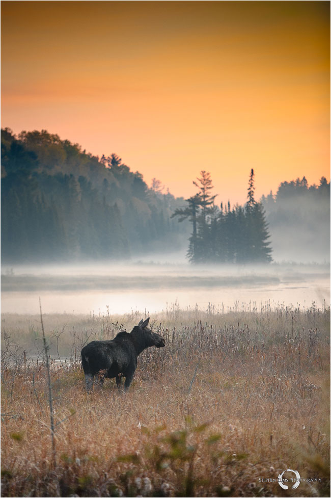 Moose in the morning mist by Stephen Elms ©
