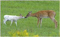 White-tailed leucistic deer by Tammy McGarry ©