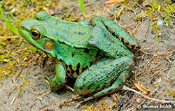 Green Frog by Thomas Boldt ©