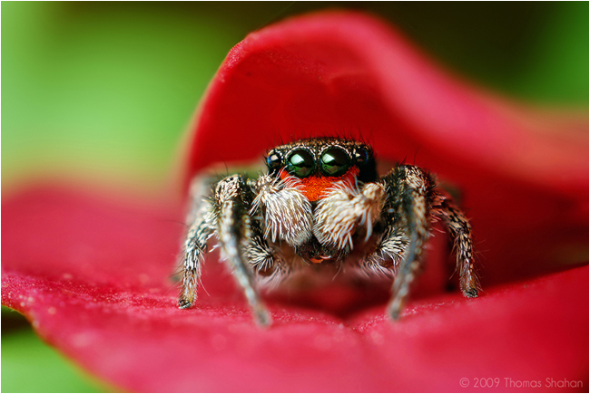Male Habronattus coecatus Jumping Spider by Thomas Shahan ©