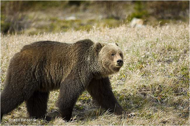 Grizzly bear by Robert Berdan