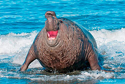 Southern Elephant Seal by Dr. Wayne Lynch ©