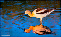 American Avocet photographed at Weed Lake, Alberta by Robert Berdan ©