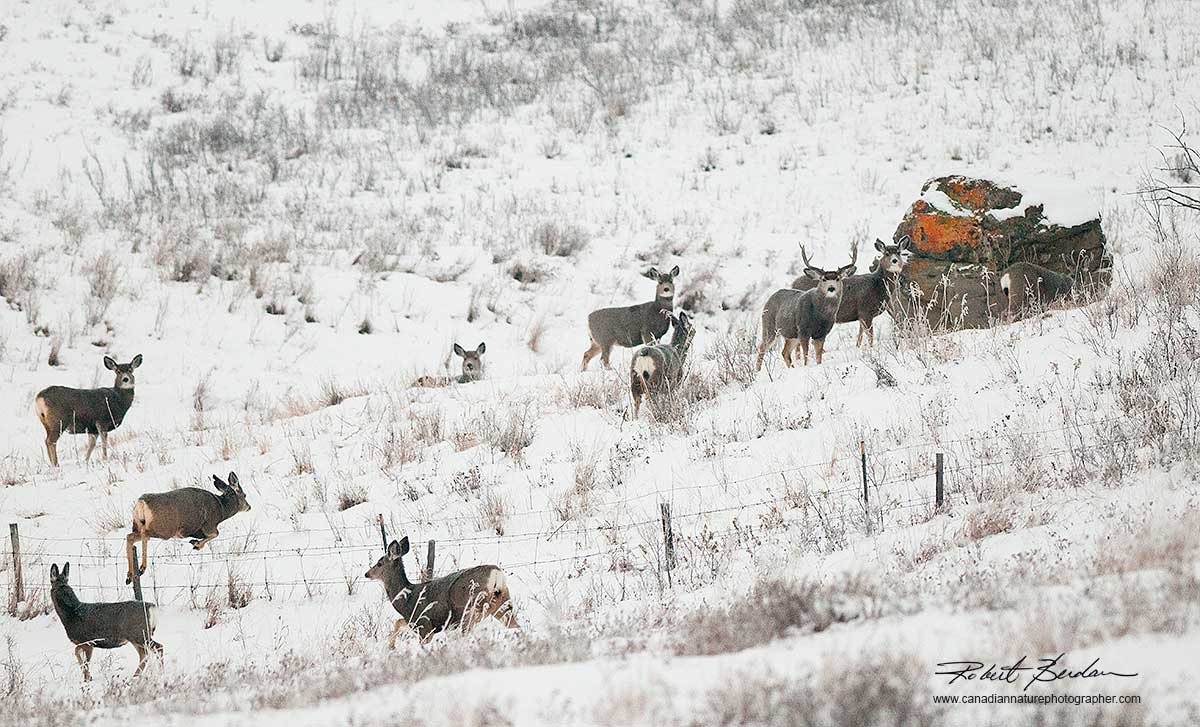 Mule deer gather north of Calgary by Robert Berdan ©