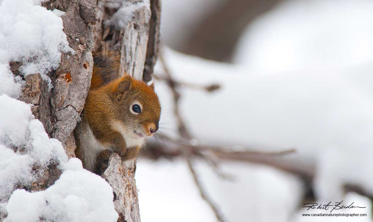Red Squirrel in a hollow tree - Big Hill Springs Provincial Park by Robert Berdan ©