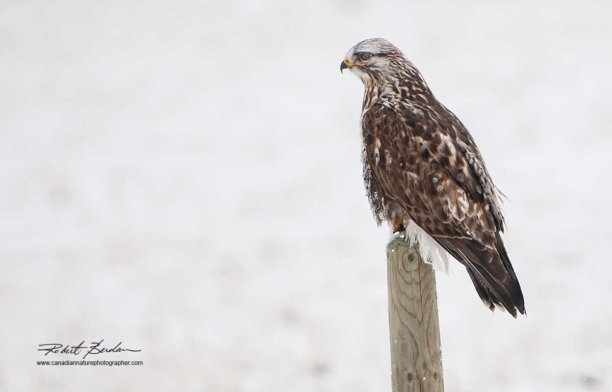 Rough-legged Hawk by Robert Berdan ©