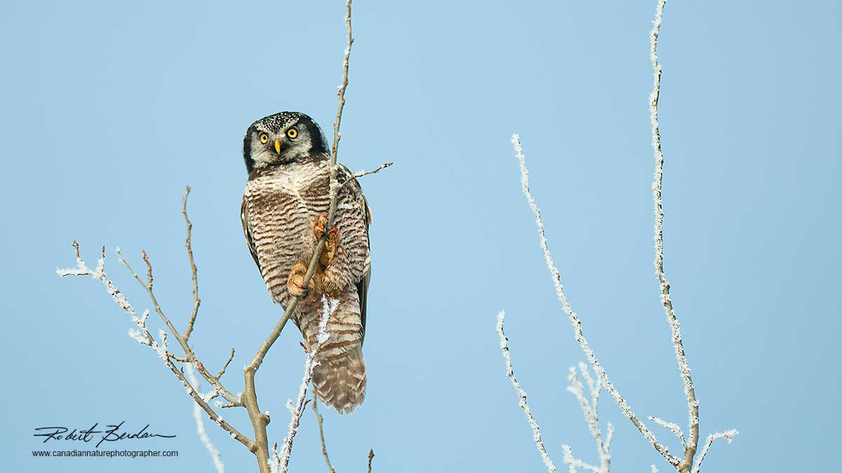 Northern Hawk Owl in winter by Robert Berdan ©