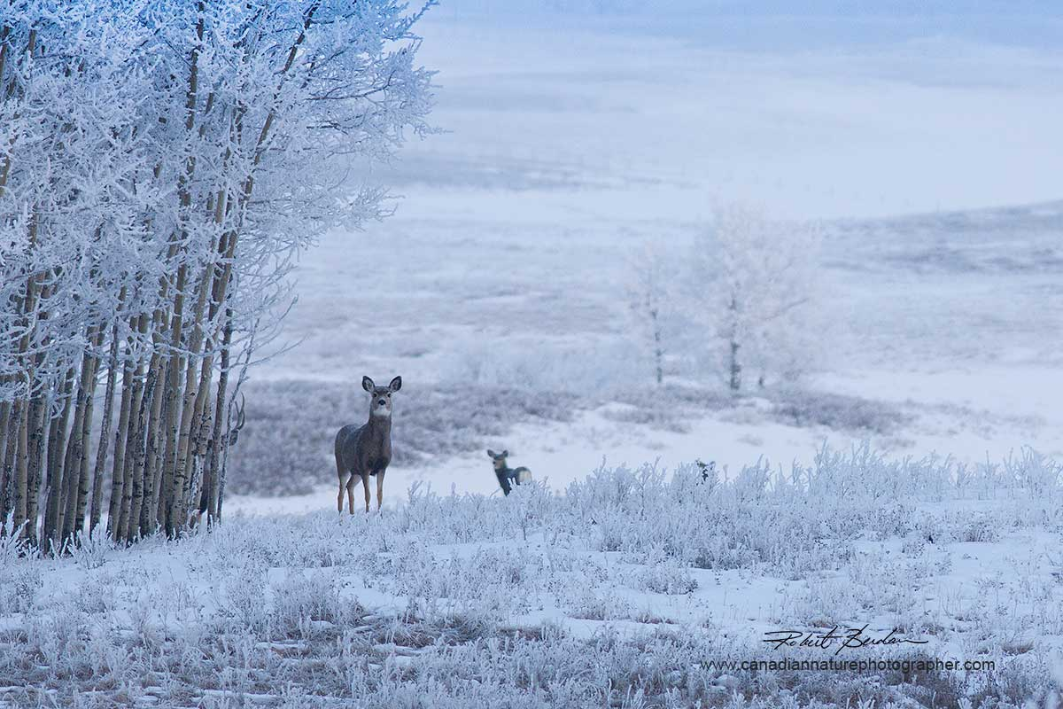Mule deer Lochend Road near Calgary by Robert Berdan ©