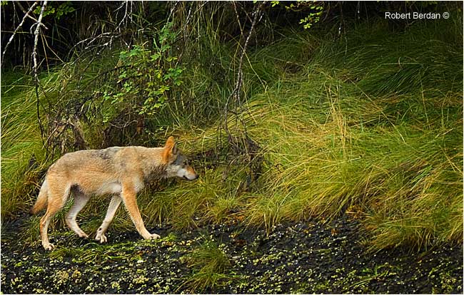 Wild Wolf West Coast BC by Robert Berdan ©