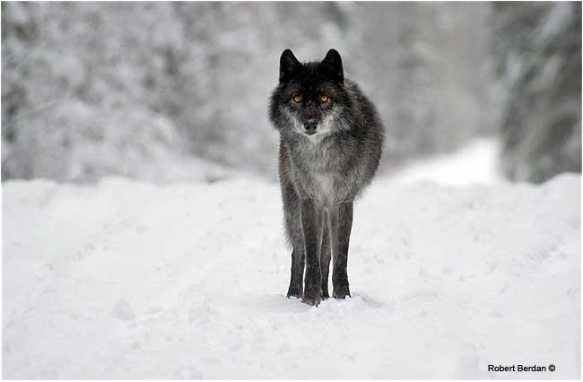 Black wolf (captive) by Robert Berdan ©