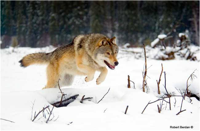 Wiley a captive wolf jumping over a log by Robert Berdan ©