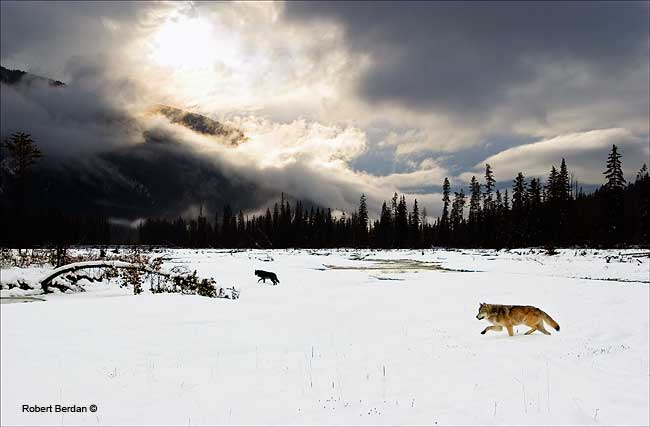 Wolves in the Blaeberry river valley near Golden BC by Robert Berdan ©