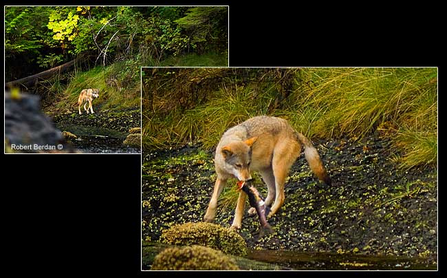 Wild wolf on West Coast biting salmon head by Robert Berdan ©