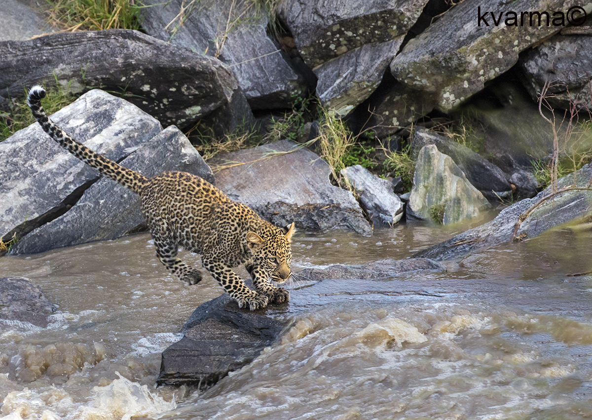 leopard jumping across stream by Kamal Varma ©