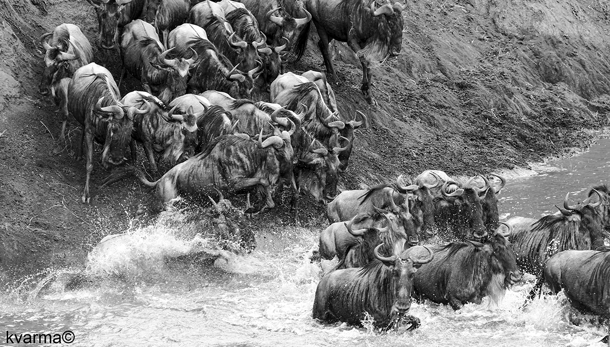 Black and white photo of Wildebeests by Kamal Varma ©