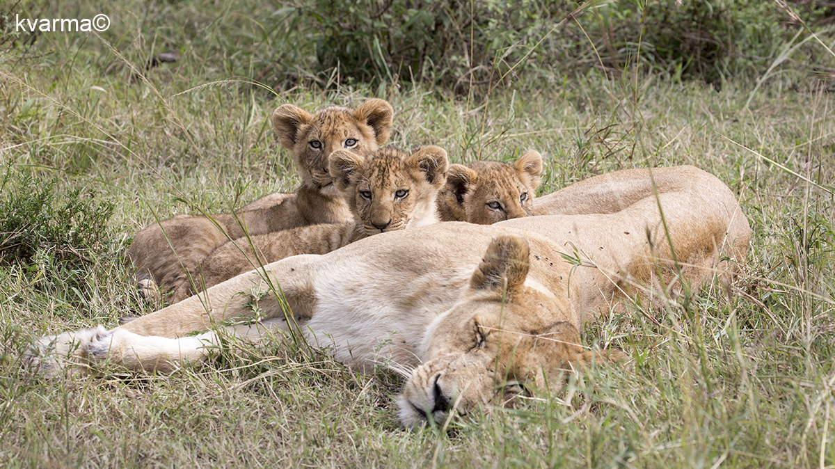 lion cubs by Kamal Varma ©