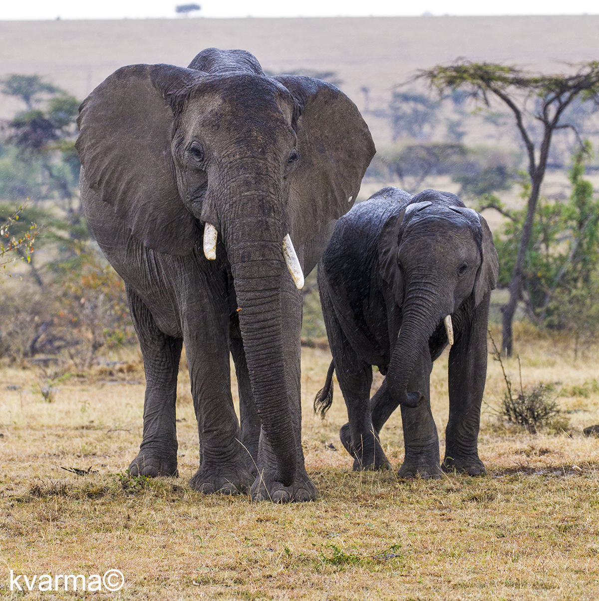 African elephants by Kamal Varma ©