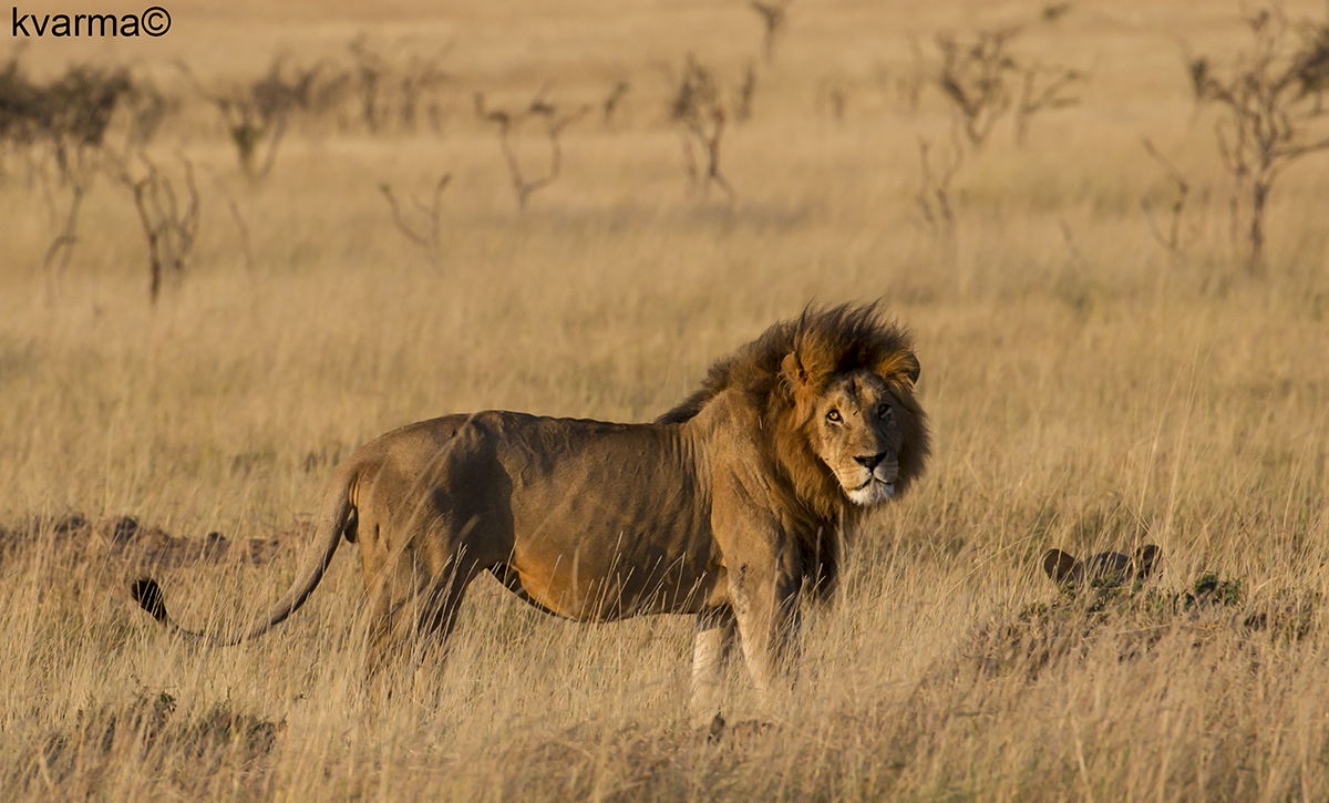 adult male lion by Kamal Varma ©