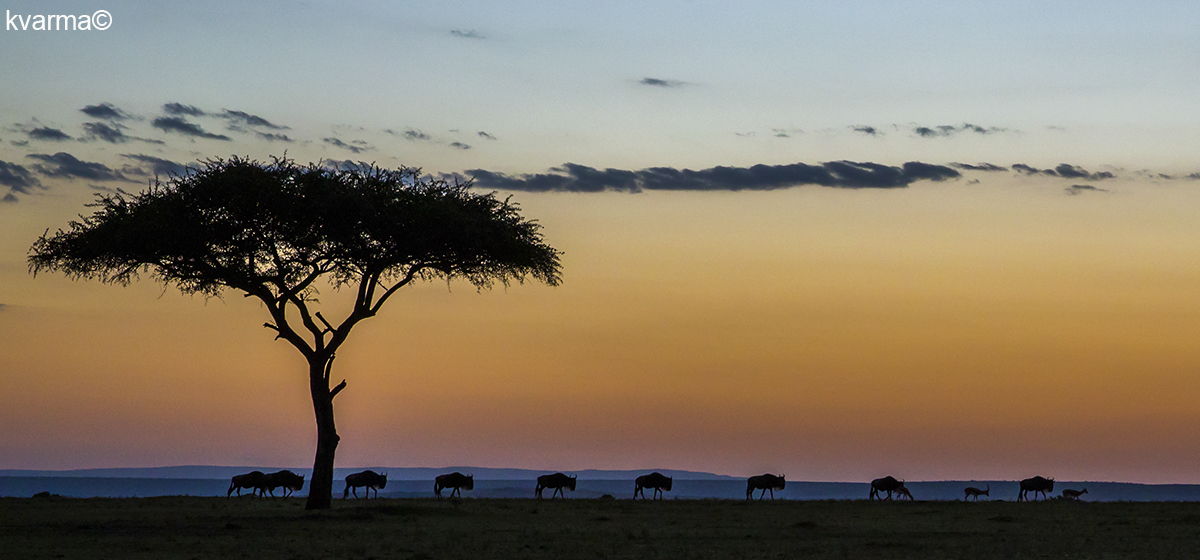 wildebeests at sunset by Kamal Varma ©