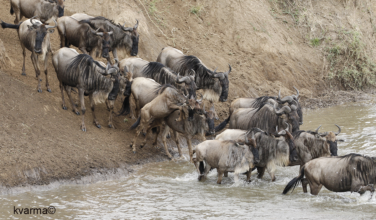 Wilddebeest or gnu crossing river by Kamal Varma ©