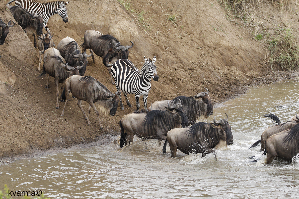 wildebeest and zebra crossing river by Kamal Varma ©