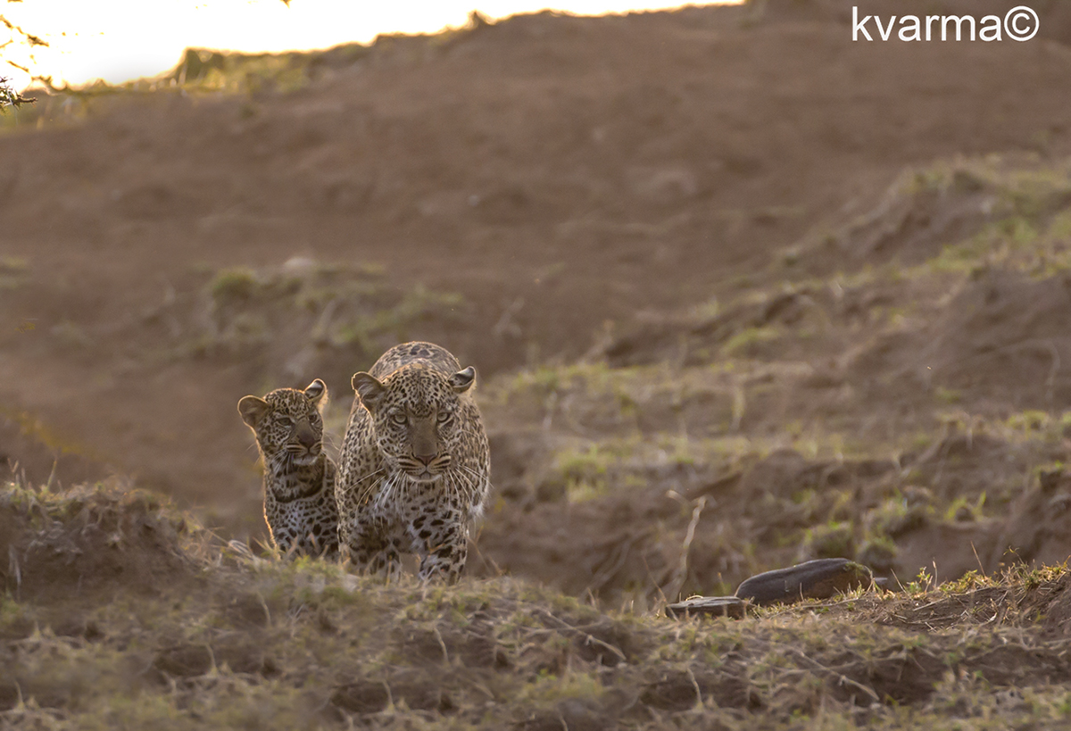 leopards by Kamal Varma ©