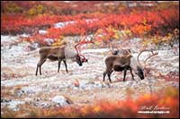Caribou and fresh snow near Point Lake Northwest Territories by Robert Berdan