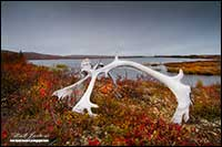 Caribou antler and Point Lake Lodge on the tundra in the Northwest Territories by Robert Berdan