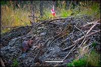 Beaver on hut with Canadian Flag near Yellowknife, NT by Robert Berdan