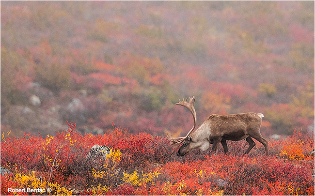 Caribou Red Rock lake Northwest Territories by Robert Berdan ©