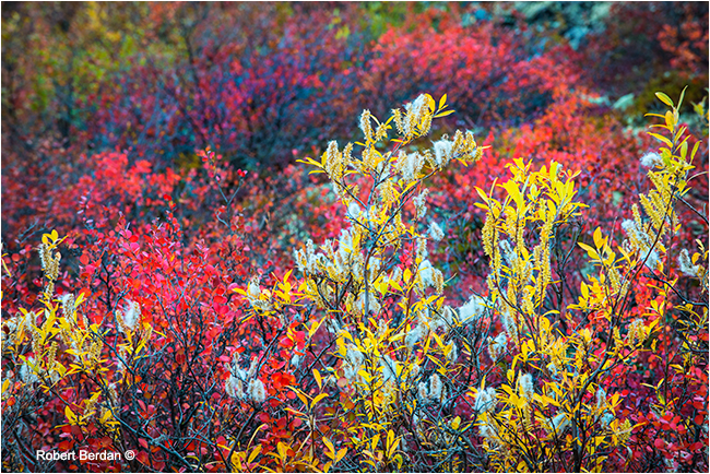 Dwarf birch and willow in autumn on the tundrra by Robert Berdan ©
