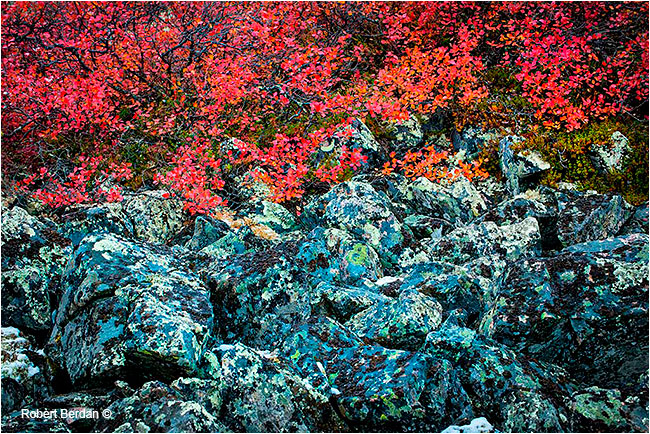 Dwarf birch and rock covered lichens by Robert Berdan ©