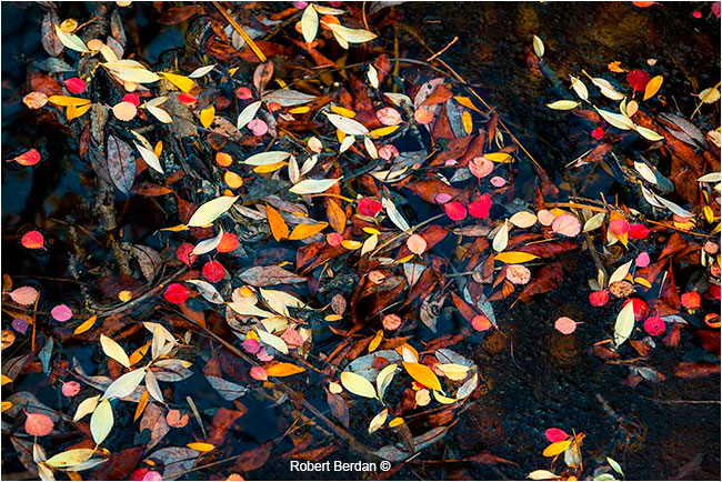 Frozen autumn leaves on the tundra by Robert Berdan ©