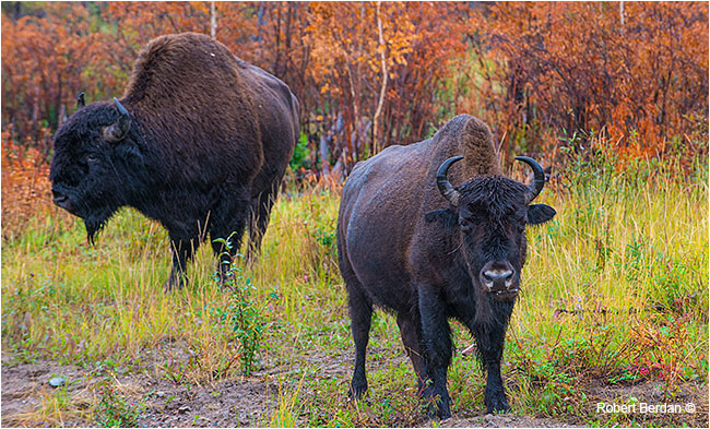 Bison north of Fort Providence by Robert Berdan ©
