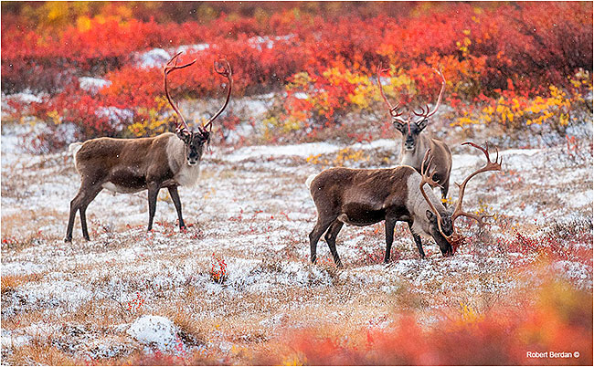 Barren lands caribou in fresh snowfall by Robert Berdan ©