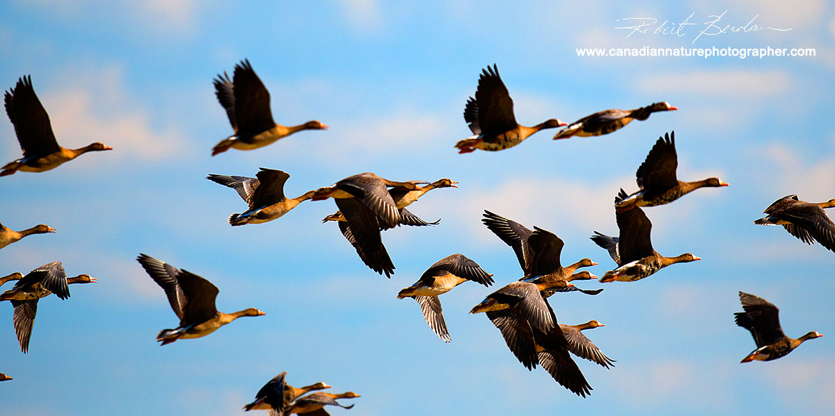 White fronted Geese (Anser albifrons) taking flight by Robert Berdan ©
