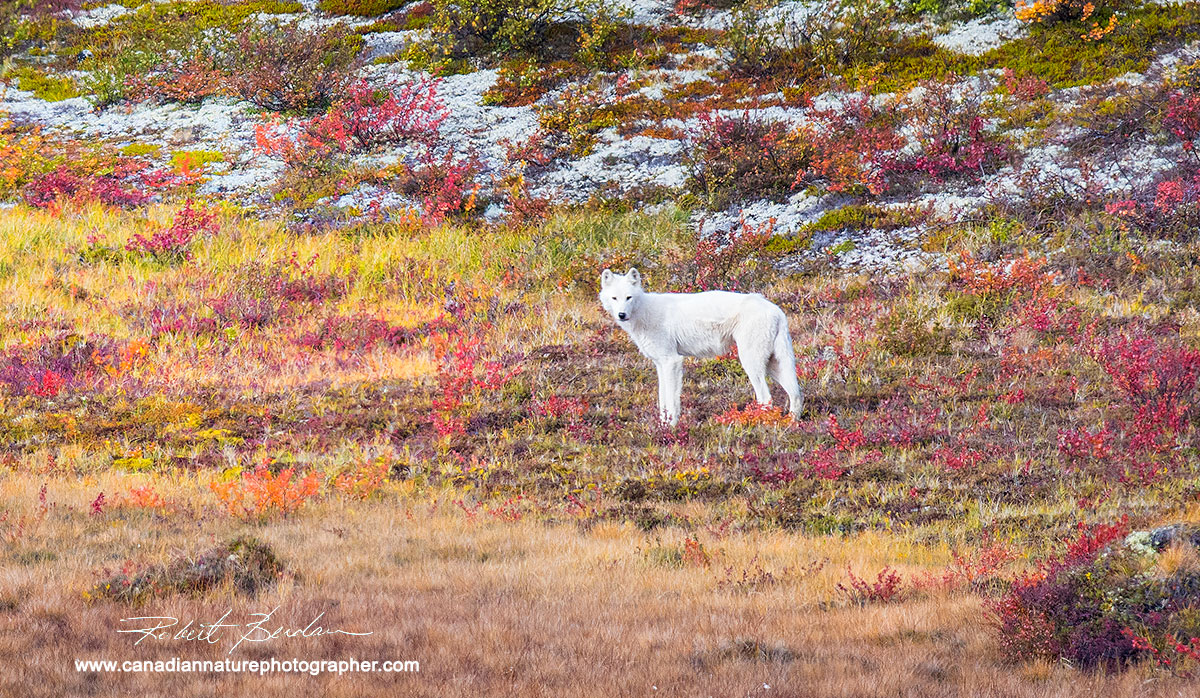 White wolf photographed from atop the Esker  by Robert Berdan ©