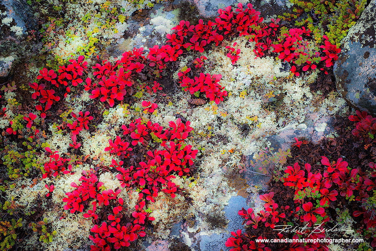 Red Bearberry and moss on granite.  by Robert Berdan ©