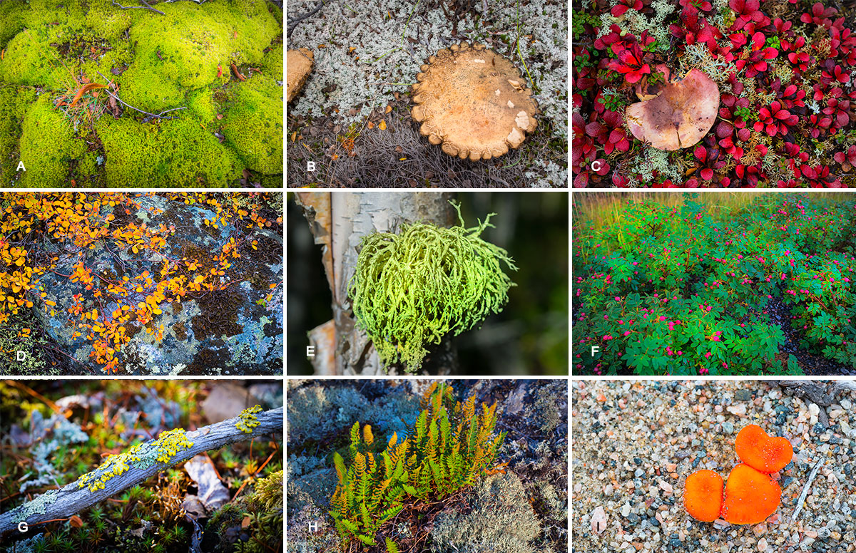 A) Moss Philonotis fontana? b) Large pancake sized mushroom c) mushroom surrounded by bear berry and D) dwarf birch leaves with granite covered in black tripe and map lichen E) Wolf lichen Letharia vulpina once used to poison foxes and wolves F) Wild rose buds G) Candelariella sp of lichen growing on wood H) Smooth cliff fern - there are 3 species of fern common on the tundra. I) Orange Milk Cap (Lactarius deliciosus) mushroom growing in sand on the tundra. by Robert Berdan ©