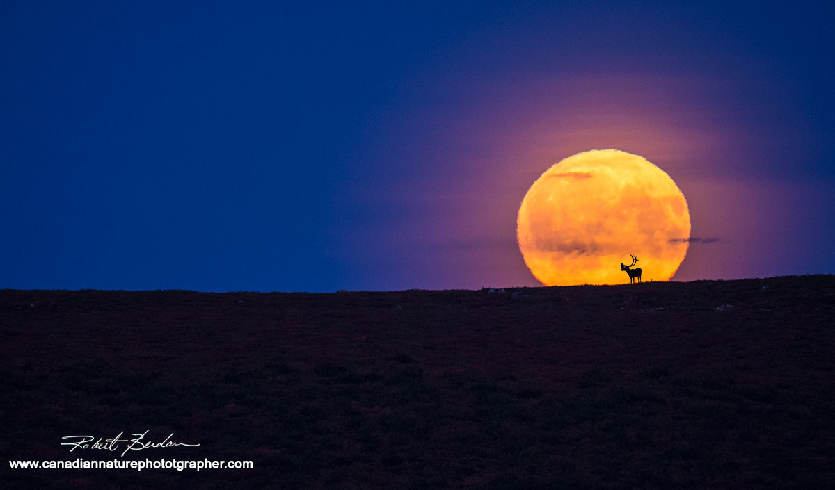 Full moon rising on the tundra at Point Lake  with caribou skyline by Robert Berdan ©