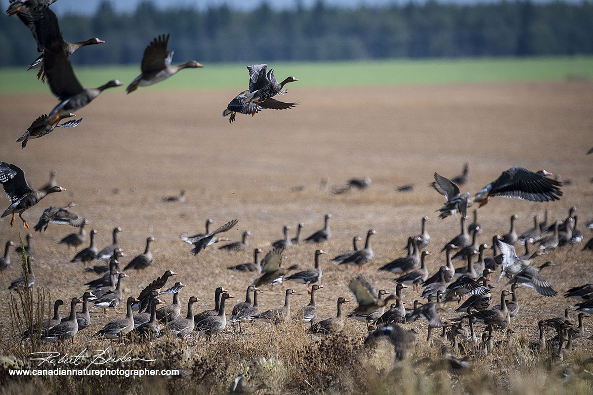 Greater white-fronted geese (Anser albifrons)  Robert Berdan ©