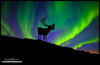 Caribou silhoutte and Aurora Borealis composite image by Robert Berdan