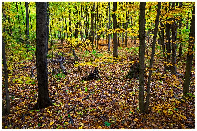 Decidous forest in Ontario by Robert Berdan ©
