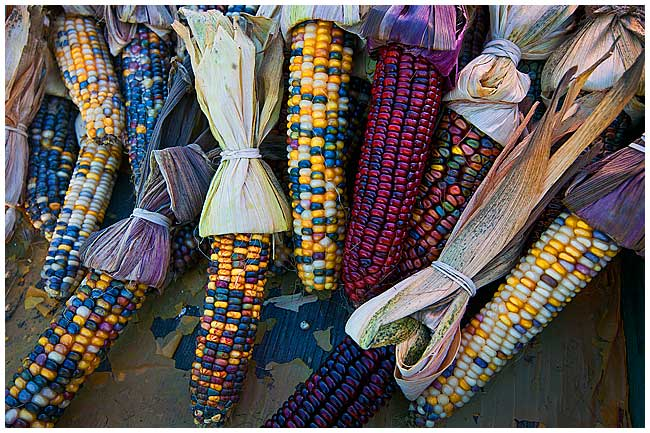 Ornamental corn by Robert Berdan ©