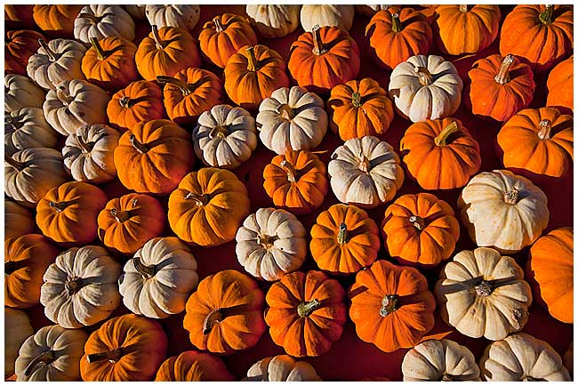 Pumpkins by Robert Berdan ©