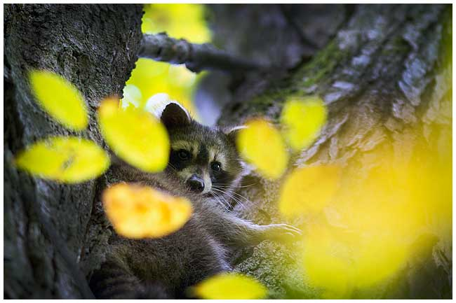 Raccoon by Robert Berdan