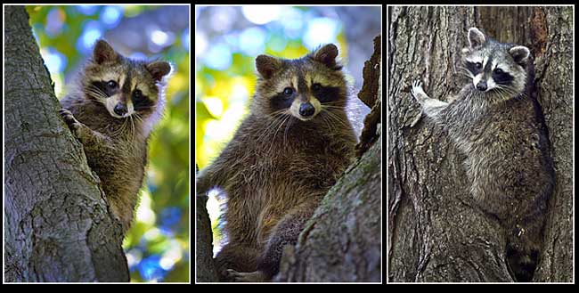 Raccoons by Robert Berdan ©