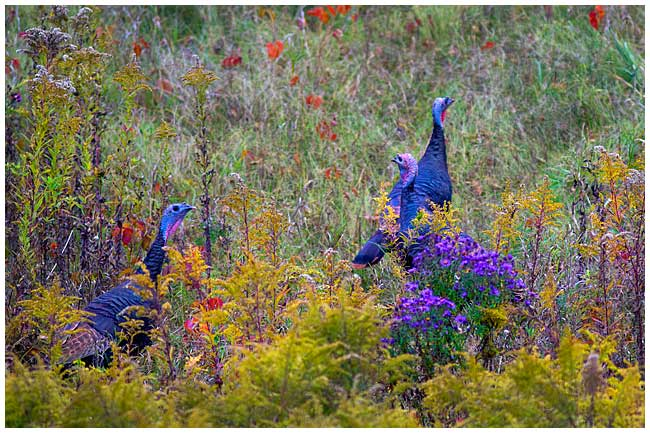 Wild Turkeys by Robert Berdan