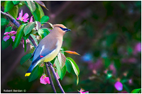 Cedar waxwing photographed in my backyard by Robert Berdan ©